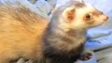 Exotic Pets – Ferret