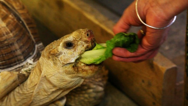 How to Feed a Land Turtle   Pet Turtles