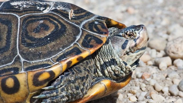 How to Feed an Aquatic Turtle   Pet Turtles