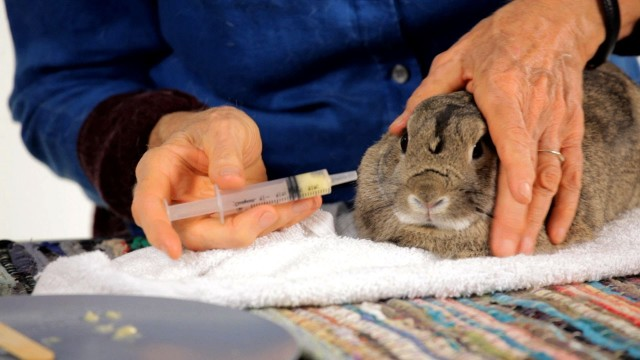 How to Give a Rabbit a Pill   Pet Rabbits