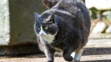 How to Help Your Cat Lose Weight   Cat Care
