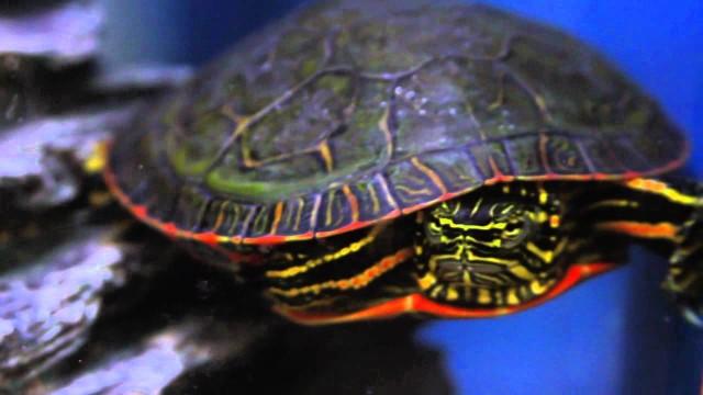 Keeping Aquatic Turtles as Pets