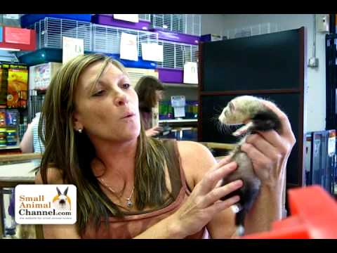 Pet Ferret Care Information – SmallAnimalChannel.com