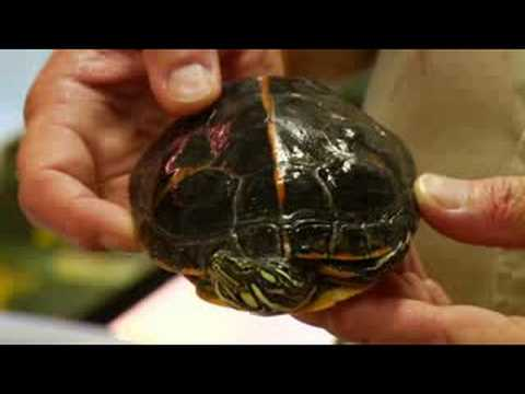 Pet Turtle Care : How to Take Care of a Painted Turtle