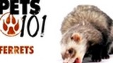 Pets 101 – Ferrets