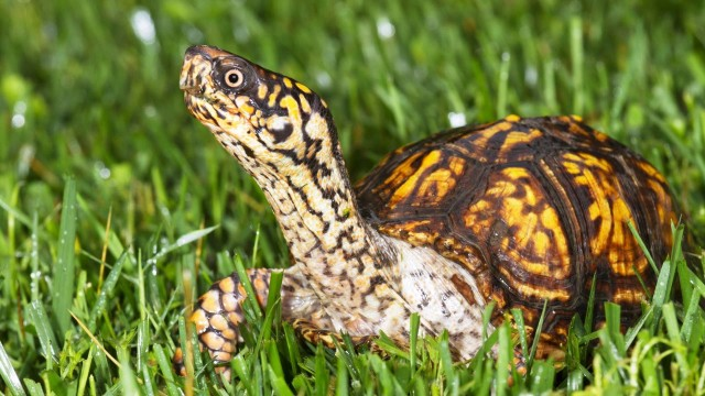 What's a Box Turtle? | Pet Turtles