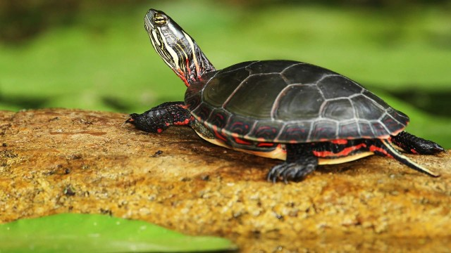 What's a Tropical Turtle? | Pet Turtles
