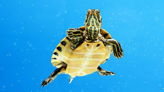What's an Aquatic Turtle? | Pet Turtles