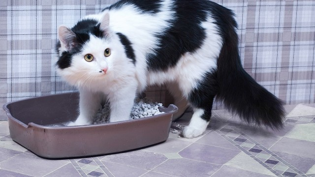 Why a Cat Stops Using Its Litter Box   Cat Care